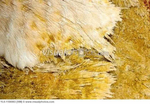 north_america_usa_wyoming_yellowstone_national_park__sulfur-oxidizing_filamentous_bacteria