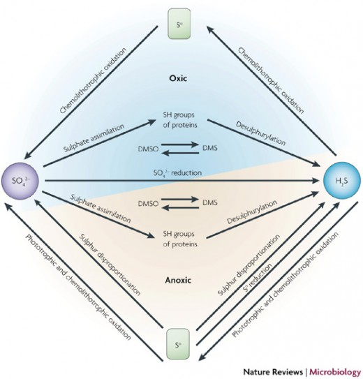Sulfur Cycle Bacteria