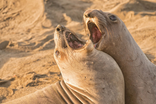 These seals are really hitting the high notes.  Well, truth be told they are fighting over a baby, but they sure look like they're singing, don't they?