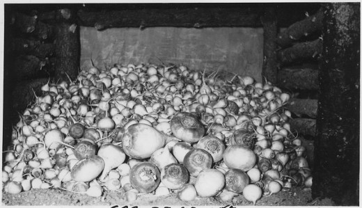 Large crops of vegetables such as these turnips could be stored on the floor of the cellar.