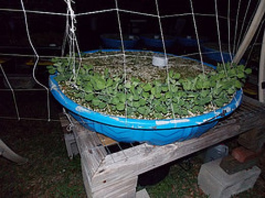 Growing Sugar peas using Food and Drain Method