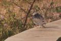 Identifying Birds: Ruff Going Sometimes