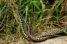 Dance of the adders. This is two males gently battling it out for the attention of a female.