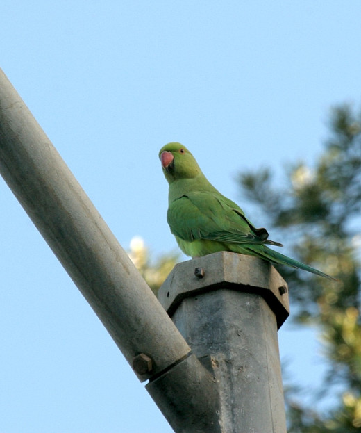 I usually see green parrots at the Main Library by King St. & haven't seen parrots anywhere else on Oahu. This site has nice pics better than what my camera can do.
