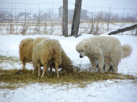 A livestock guardian kuvasz of Brantwood Farms watches over sheep.