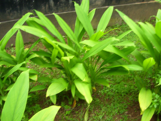The turmeric plant, which is the source of the spice and the isolated curcuminoid extracts.