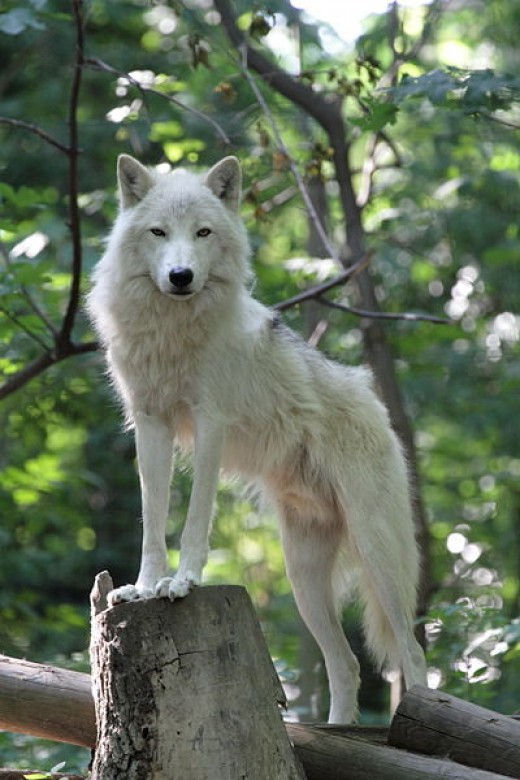 The wolf is a sacred totem for many cultures around the world.