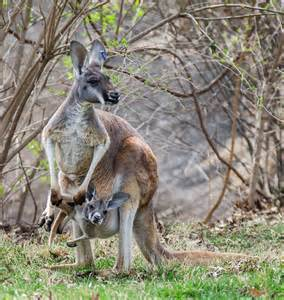 Mother kangaroo and baby (Joey) at Kansas City Zoo