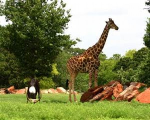 Most every zoo has a fine collection of giraffe to treat the eyes
