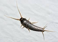 Silverfish under my bed?