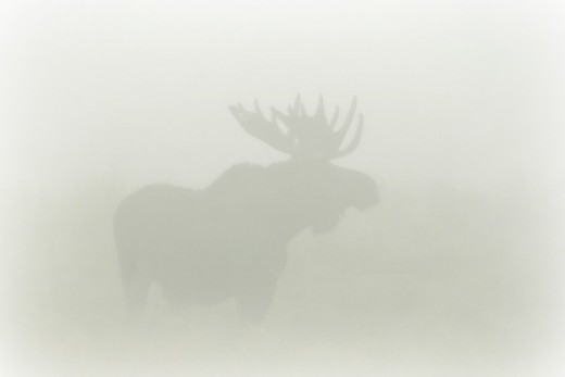 Bull moose in the mist