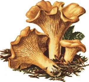 Chantarelles - edible