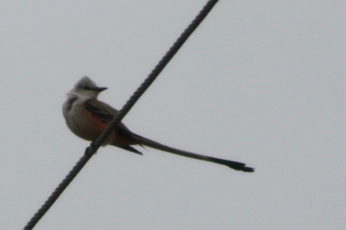 Scissor-tailed Flycatcher on a wire