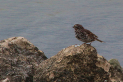 Seaside Sparrow on the Rocks