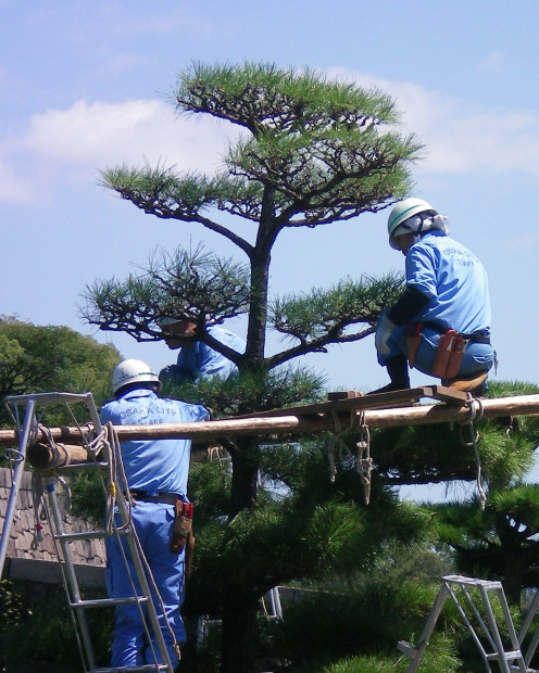 The art of Japanese tree pruning (c) A. Harrison