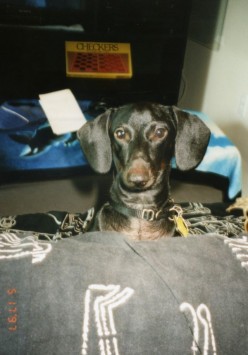 Dachshund Traits and Care