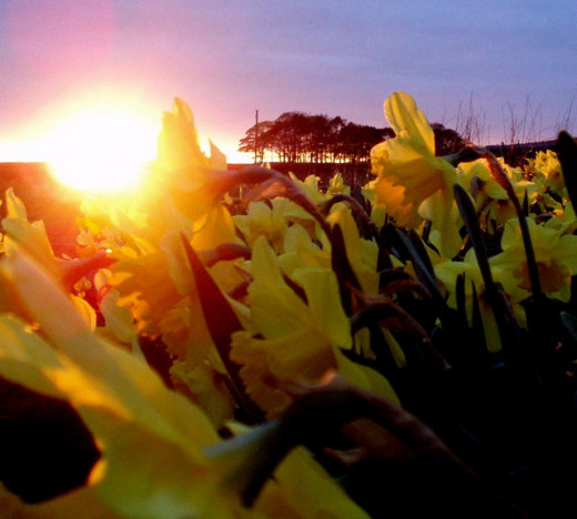A beautiful photograph showing daffodils at sunset.