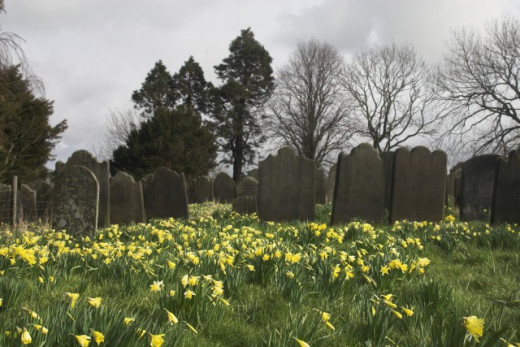 Daffodils in an old cemetery - the flower was once used as a funerary flower, especially for infant graves.