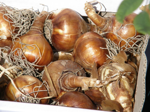 Daffodil bulbs, when placed near to food sources can be mistaken for onions or other vegetables.