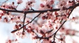 Plum Blossoms symbolize perserverence and reliability.
