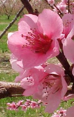Peach blossoms symbolize growth, prosperity, long life and romance