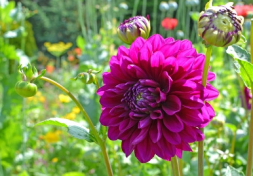 Again, dahlias are tiny little seedling but they grow into huge plants.
