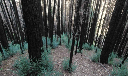 This is an example of new growth after forest fires.
