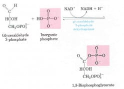 Some of the Most Important NAD+ Linked Dehydrogenase Enzymes of The Living System