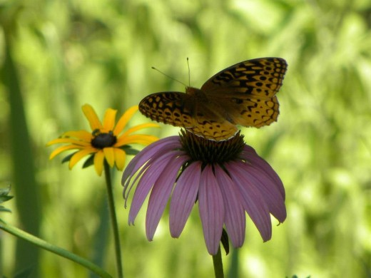 Lady Butterfly on Echinecea flower, Hannibal, MO