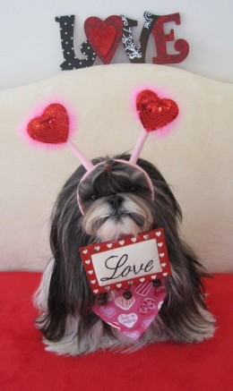 Shih Tzu dressed for Valentine's Day