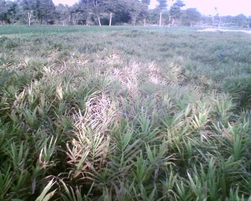 Ginger Field