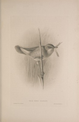 British Warblers. Howard Courtesy of the BHL