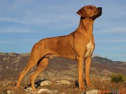 Rhodesian ridgebacks, also called a Rhodie, have a noble history as lion hunters, who would hold lions at bay for their masters to kill in South Africa.