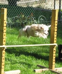 """Trixie"" my Chinese Crested female approximately 7 years ago beginning her agility training.  Even the smallest of dogs can fly over jumps with a foot to spare!"