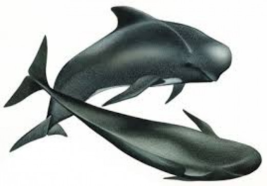 Short-finned pilot whales found in the waters of Japan, Philippines, Hawaii, etc.