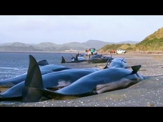 Stranded whales on NZ's South Island.