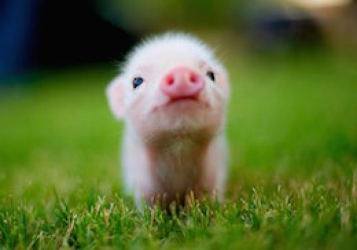 Sooo cute baby pig. How could you not love it?!
