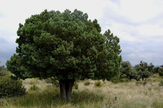Cedar Tree (Juniper)