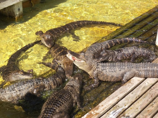 These are the younger alligators. Maybe 2 years old. They are competing for some meat tossed into the pen for them.
