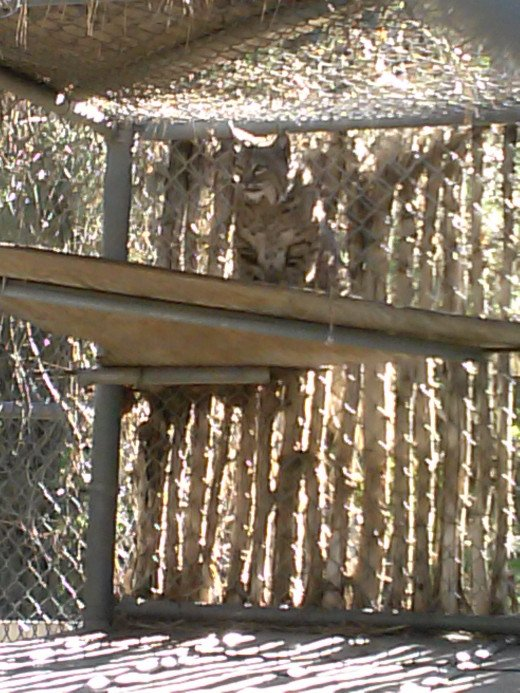 This is a photo of Sassy at Big Bear Alpine Zoo on her shelf enjoying her view.