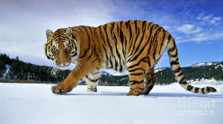 Are Siberian tigers meaner because of the cold then their counter parts the African tigers?