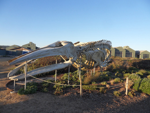 Whale skeleton.