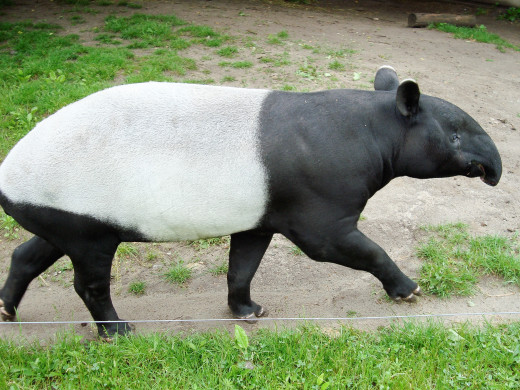 A zoo is not the best environment for an animal.  Some zoos perform useful jobs, however, such as breeding Malayan tapirs.