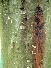 Bleeding cankers on a horse chestnut tree