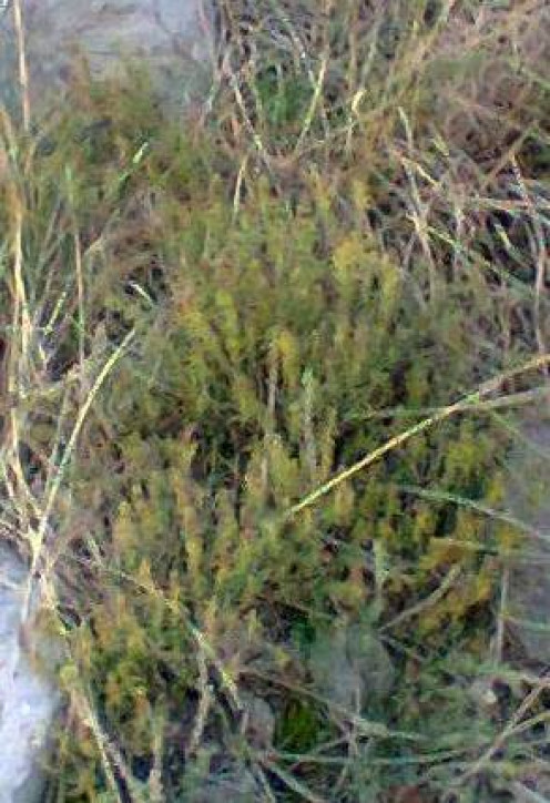 Thyme grown in the wild.