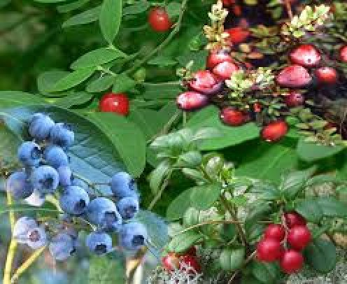 Bilberry plant with fruit
