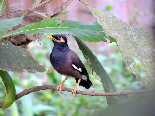 The Common Hill Myna can be found in Southeast Asia and India.