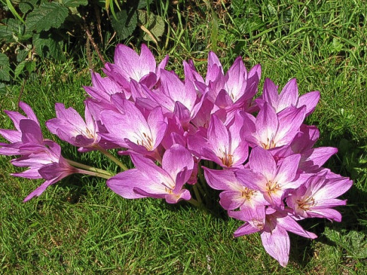 Autumn crocus, or Colchicum auturmnale, growing in the UK