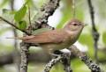 Garden Warbler { Birds of Europe}