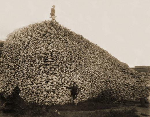This pile of buffalo bones was ground up for fertilizer in the 1870s